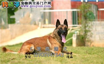 济宁家养新生纯种比利时马犬犬幼犬待售