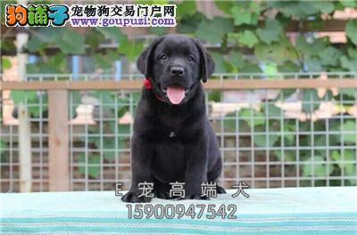 养殖场出售 拉布拉多幼犬 可上门挑选