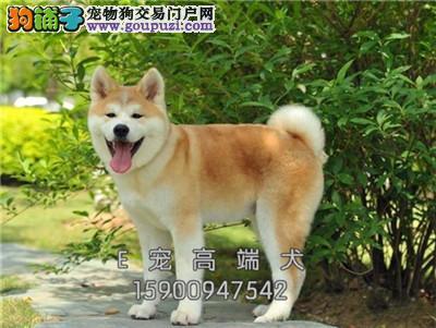 养殖场出售秋田犬 可上门 挑选疫苗驱虫已做
