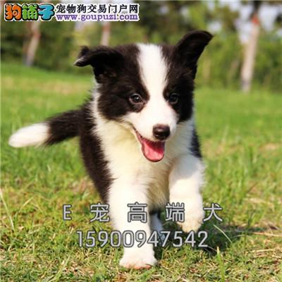 菏泽正规犬舍可爱七白边牧犬公母均有