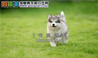 山东家养阿拉斯加听话新生粘人犬全国发货
