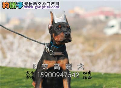 犬舍直售 高品质罗威纳 可上门挑选 疫苗驱虫已做