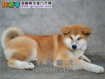 犬舍直售 高品质秋田犬 幼犬 可上门 疫苗驱虫已做
