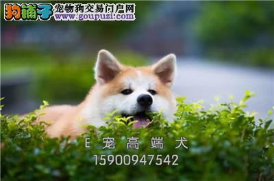 山东柴犬日本双血统驱虫已做全国发货