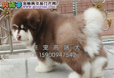 犬舍直售 阿拉斯加犬 幼犬 可上门 疫苗驱虫已做