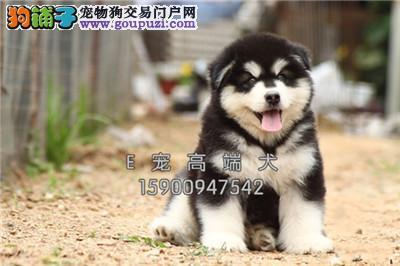 山东阿拉斯加新生极品巨型犬全国发货