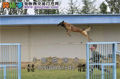 菏泽本地出售赛级马犬可视频挑选带证书