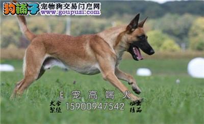 纯种黑色 和米黄色 拉布拉多犬 包健康纯种签协议