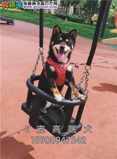 南京纯种三个月柴犬仔仔带证书双血统
