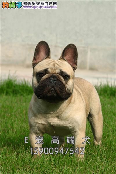 江苏最大犬舍法牛新生自然尾全国发货