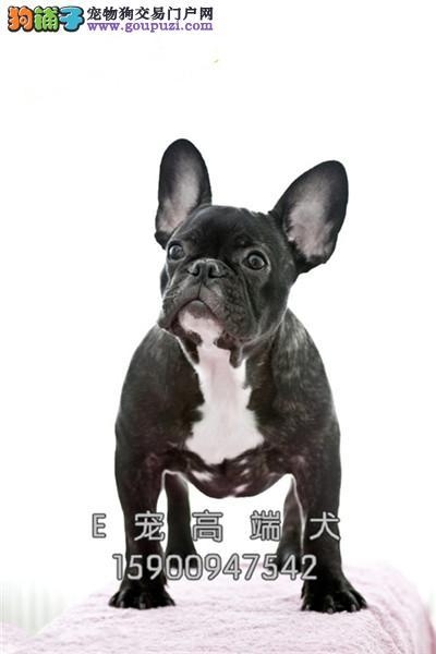 专业繁殖 秋田犬 出售 签协议包健康