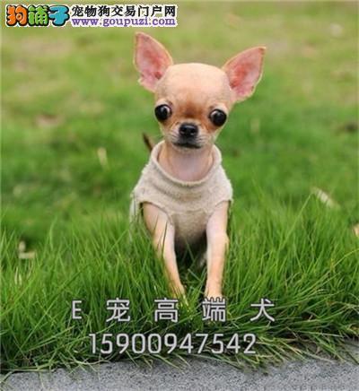 江苏吉娃娃小可视频挑选幼犬待售全国发货