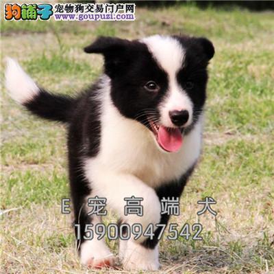 ##繁殖基地 出售纯种 边牧犬 保证健康3个月退换