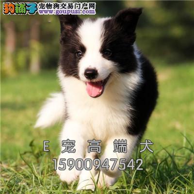 南京家养七白边牧多色可选双血统