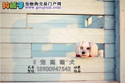 江苏雪纳瑞赛级纯种迷你包纯种全国发货