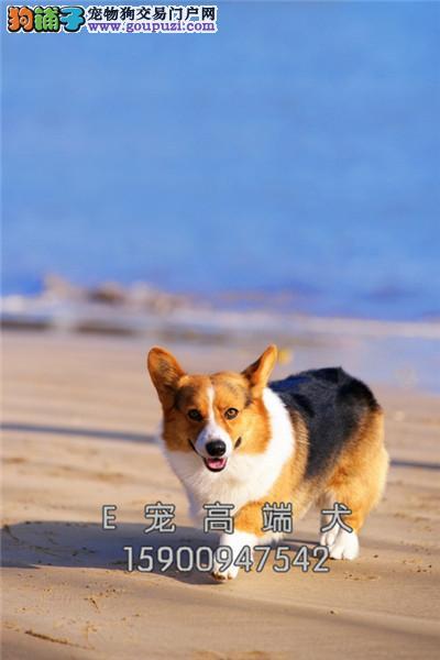 诚信为本 纯种 柯基犬 幼犬 品种齐全 保纯种健康