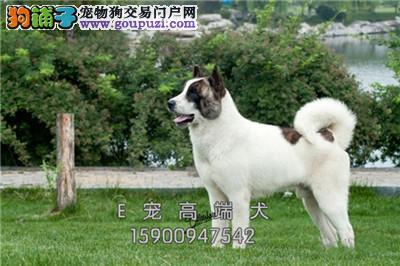 江苏正规犬舍秋田健康小幼犬待售全国发货