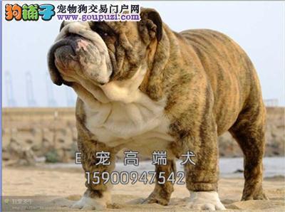 诚信为本 纯种英牛 幼犬 品种齐全 保纯种包健康