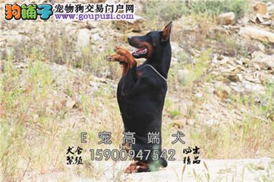 江苏犬舍杜宾精品灵性幼犬包纯种全国发货