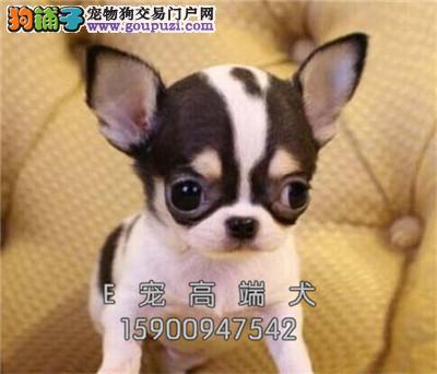 江苏出售吉娃娃出售大头犬全国发货