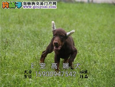 江苏家养杜宾骨量足高品相犬全国发货