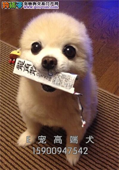 江苏博美极品三个月幼犬待售全国发货