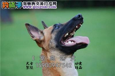 诚信为本 纯种 幼犬 马犬 品种齐全 保纯种包健康