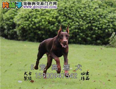 江苏出售杜宾聪明乖巧三个月犬全国发货