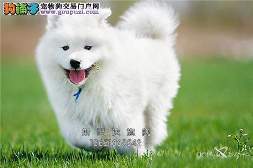 上海出售萨摩耶爱笑犬驱虫已做全国发货