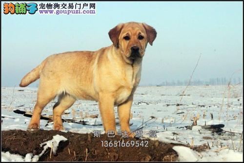 上海家养拉布拉多出售神犬小七全国发货