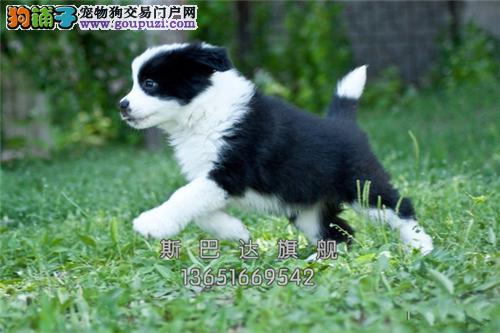 上海边牧出售出售下单有礼全国发货