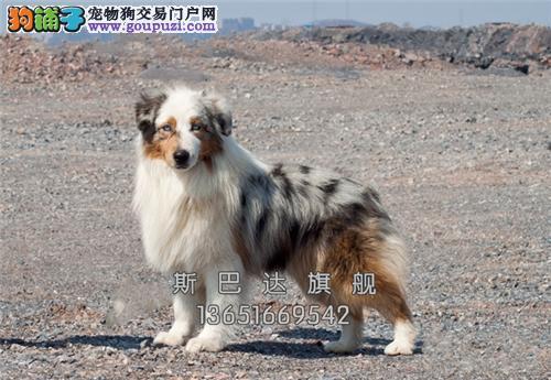 上海正规犬舍边牧听话新生通围脖全国发货