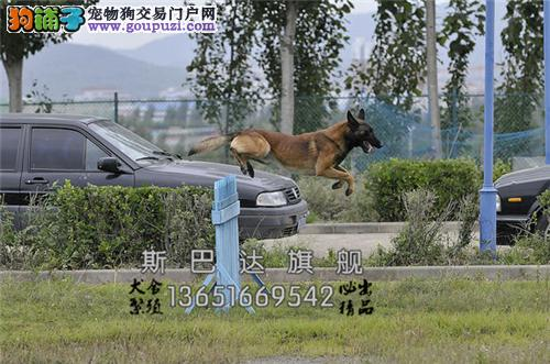 上海正规犬舍马犬自家养低价出售全国发货
