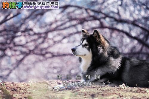 上海专业繁殖高加索熊版全国发货