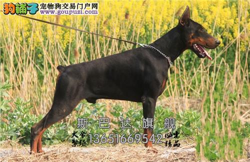 上海杜宾漂亮三个月犬保健康全国发货