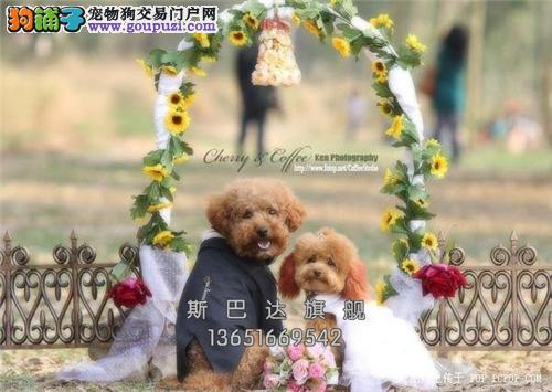 上海犬舍泰迪可爱帅气玩具犬全国发货