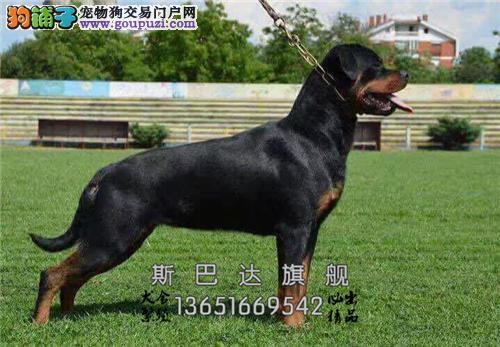 上海罗威纳听话犬送用品保健康全国发货