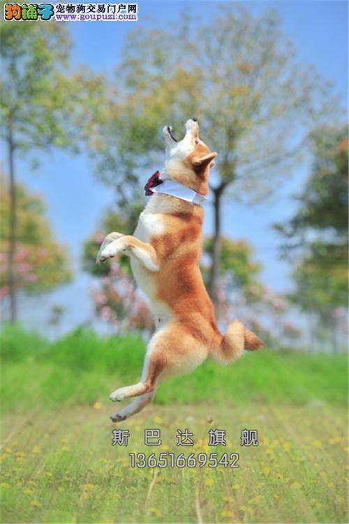 cku认证 犬舍直销 半价精品狗狗 可上门 纯种秋田犬
