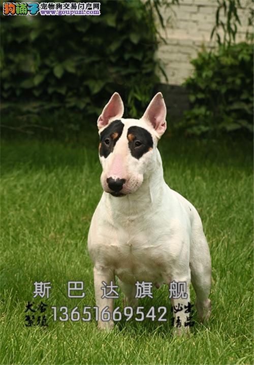 上海正规犬舍牛头梗可视频挑选全国发货