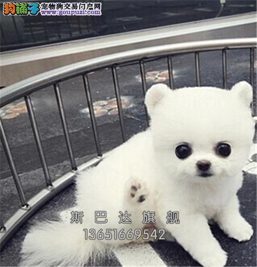 上海犬舍博美聪明超萌犬包纯种全国发货
