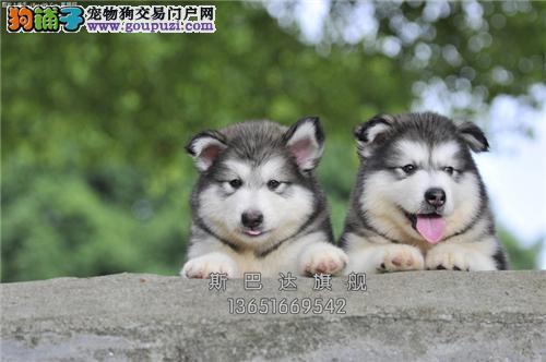 上海犬舍阿拉斯加新生小上门打折全国发货