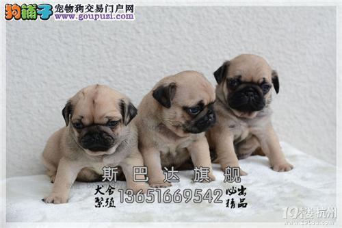 上海犬舍巴哥高品质三个月保健康全国发货