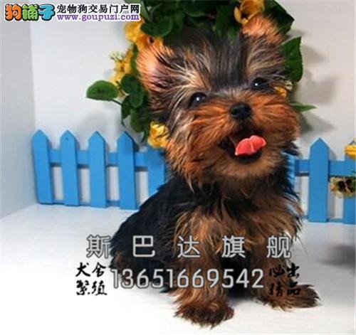 上海犬舍约克夏赛级迷你蓝背全国发货