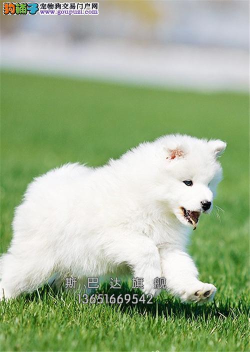 上海萨摩耶精品小犬包纯种双血统全国发货
