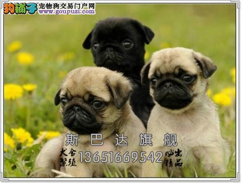 养殖场出售 巴哥犬 幼犬 可上门 下单有惊喜