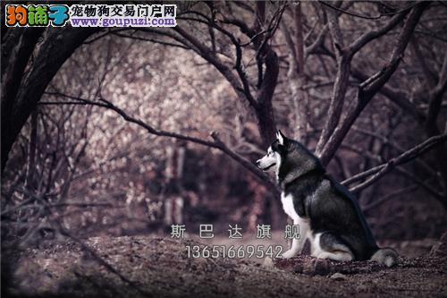 上海阿拉斯加纯种活泼可爱熊版全国发货