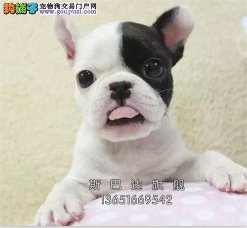 上海正规犬舍法牛乖巧小公母均有全国发货