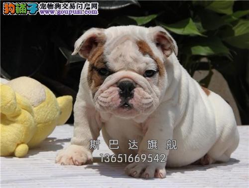 上海最大犬舍英牛赛级高品质全国发货