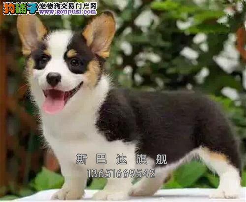 养殖场出售 博美 幼犬 可上门 下单有惊喜