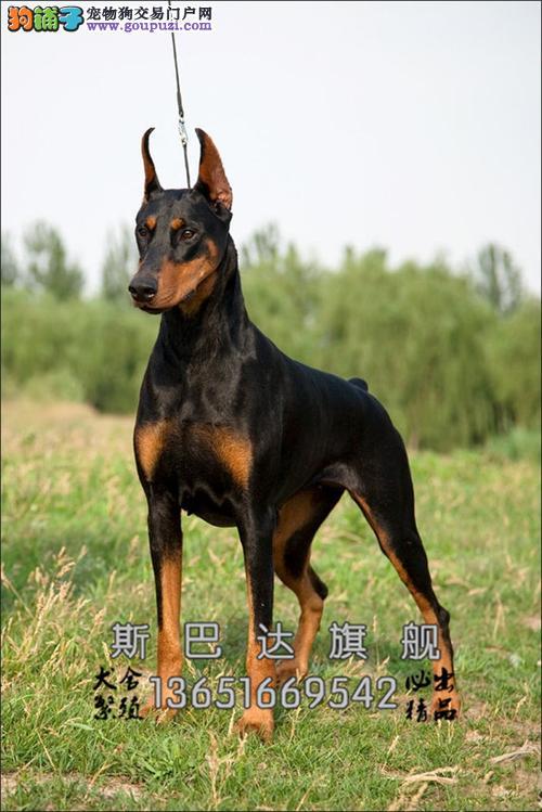 上海杜宾高品相自家养血统纯正全国发货
